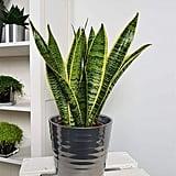 American Plant Exchange Sansevieria Trifasciata Snake Laurentii Live Plant