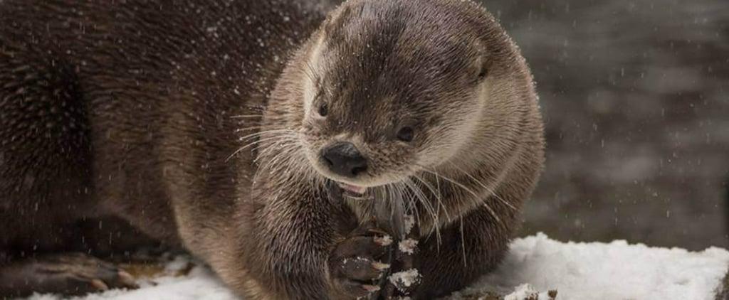 فيديو لحيوانات تلعب بالثلج في حديقة حيوان أوريغون