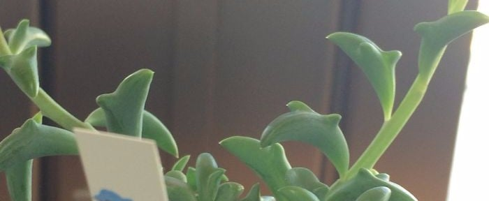 The Leaves on This Succulent Plant Look Exactly Like Tiny Swimming Dolphins