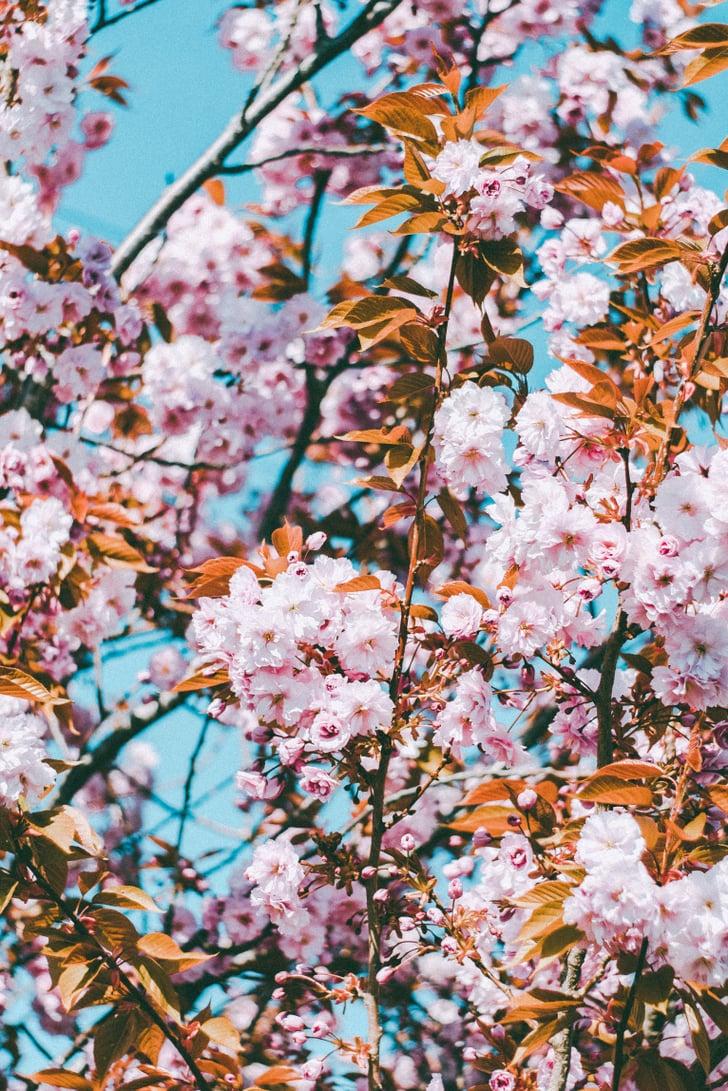 Cherry Blossom iPhone Wallpaper   Best iOS 14 Wallpaper ...