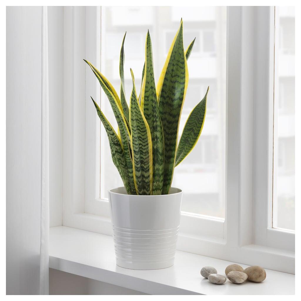 Sansevieria Trifasciata Potted Plant