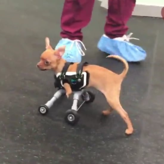 Two-Legged Dog Gets Wheelchair