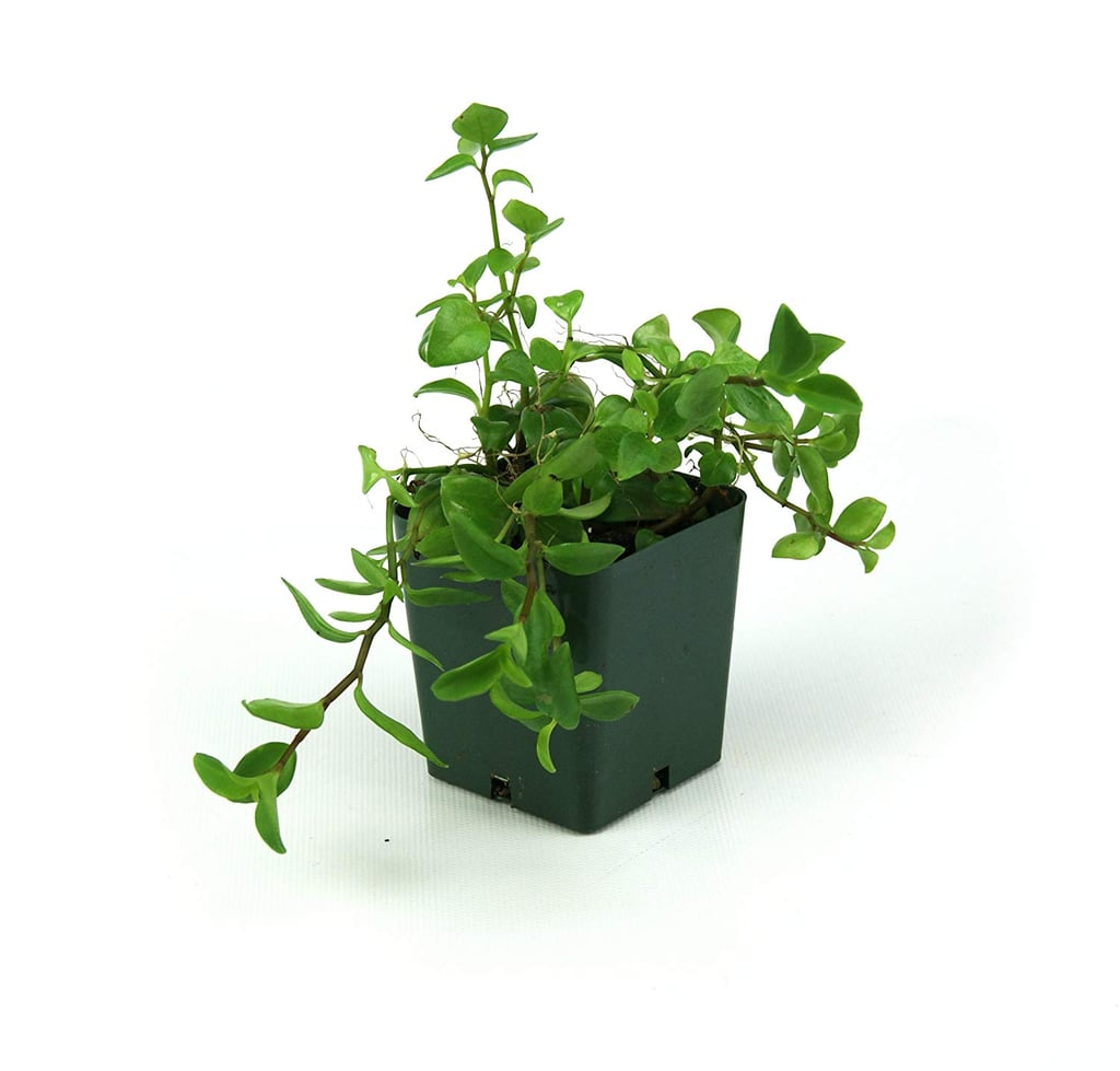 Best Indoor Hanging Plants Popsugar Home