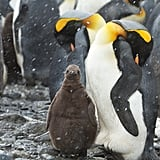 Most newly hatched chicks are covered in a fine down of feathers, except for the King Penguins which hatch naked and grow feathers within a few weeks. The down feathers aren't waterproof, which makes baby penguins unable to swim. Once a penguin turns 1, adult plumage grows in, and penguins are introduced to the water.