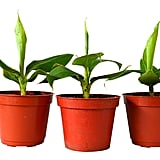 Truly Tiny Musa Banana Tree, Pack of 3 ($21)