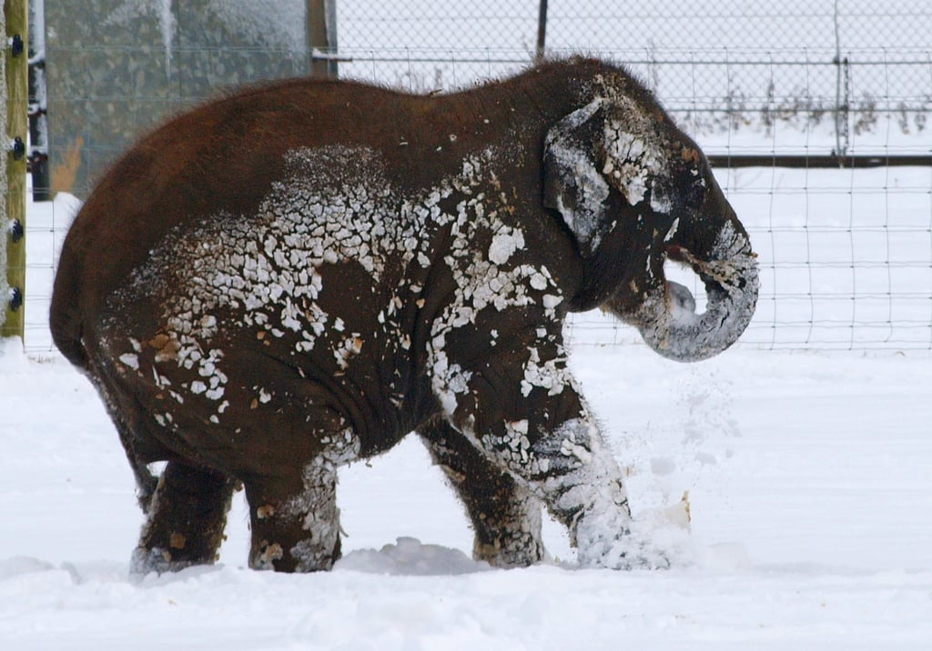 A baby elephant at ZSL Whipsnade Zoo in the UK got covered in snow.