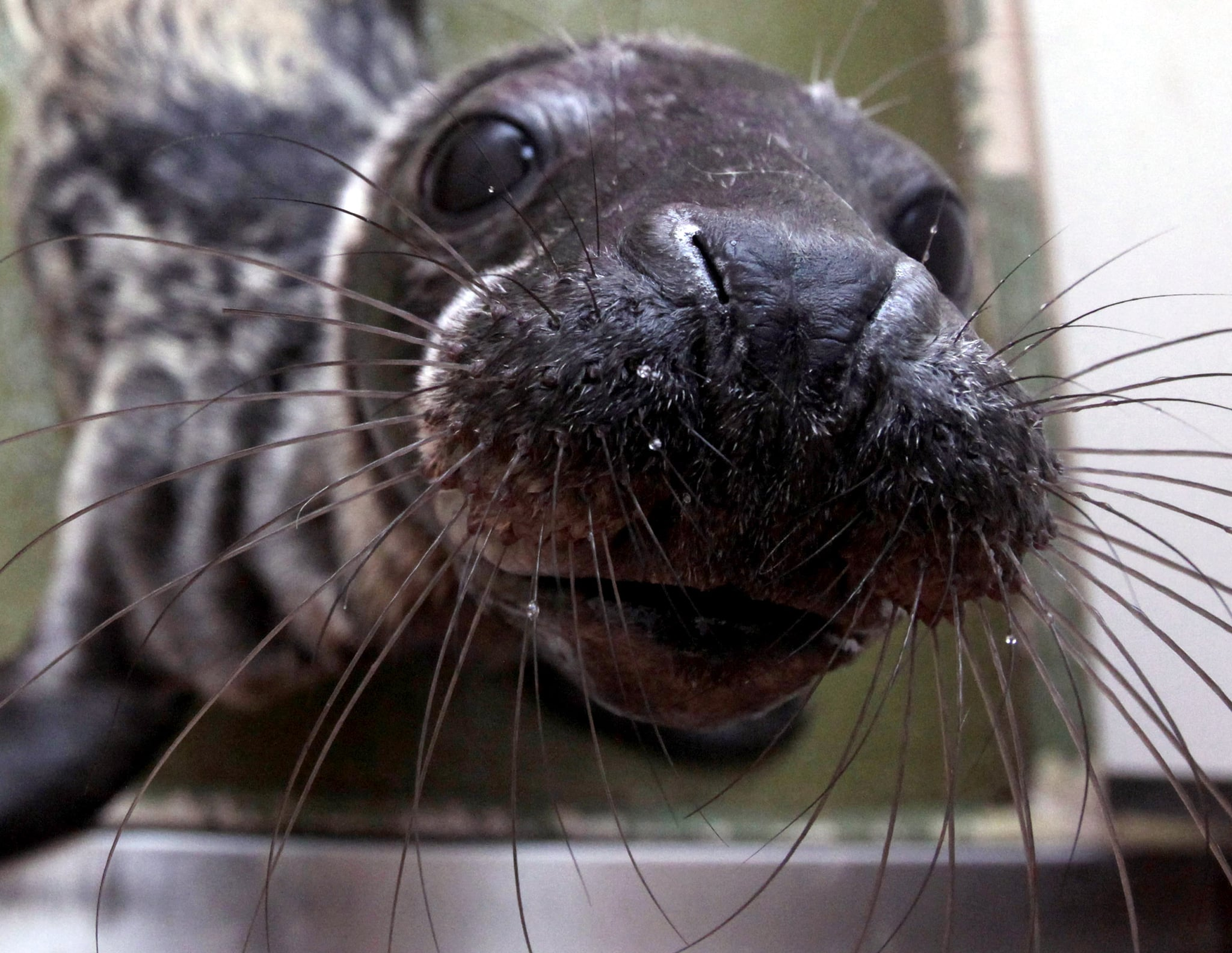 """The gray seal's scientific name, Halichoerus grypus, derives from the Greek words for """"hook-nosed sea pig."""""""