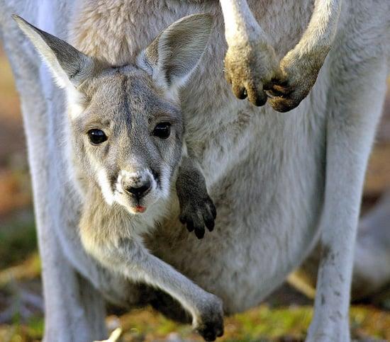 Kangaroo Pregnancy Trivia   POPSUGAR Pets