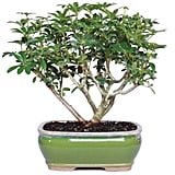 Brussel's Bonsai Live Hawaiian Umbrella Indoor Bonsai Tree