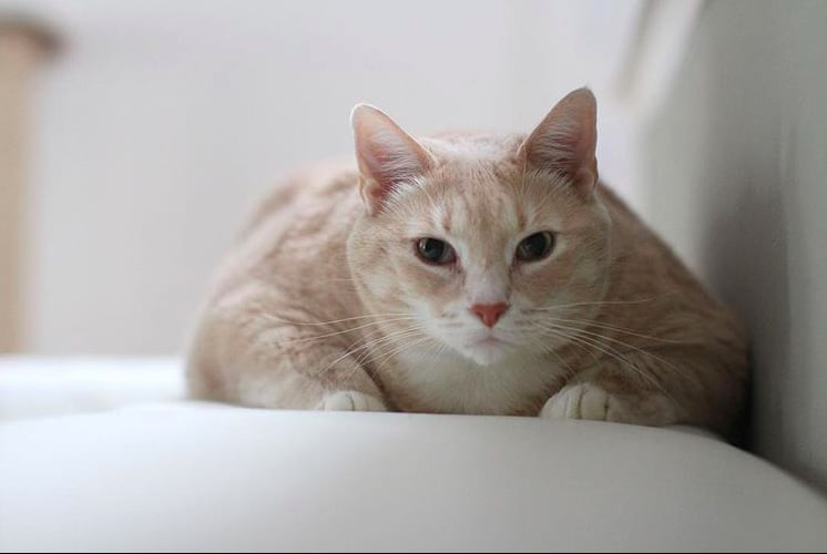 Photos Of Bronson The 33 Pound Cat Popsugar Family