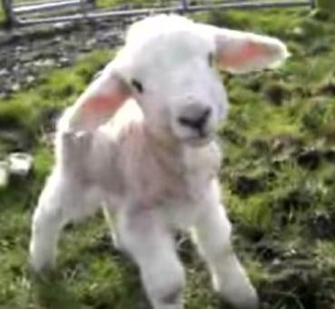 Baby Sheep Says Hello