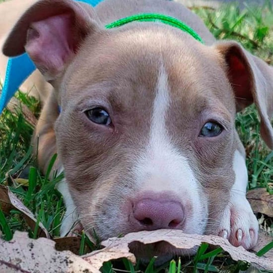 Cute Photos of Pit Bulls