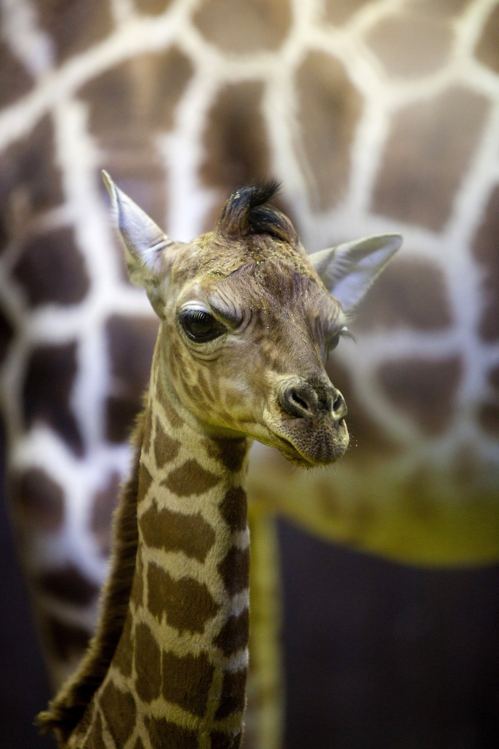 Long legs and necks allow giraffes to reach food sources up to 16 feet high. Their 20-inch-long prehensile tongues wrap around foliage to help them tear leaves and branches high up in the trees.