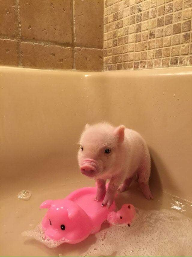This squeaky clean piggy