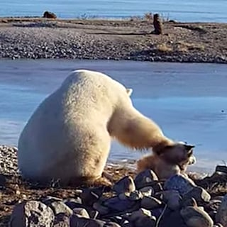 فيديو لدب قطبي يداعب أحد الكلاب