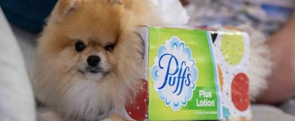 Pomeranian Dog's Tissue Box Halloween Costume Photo