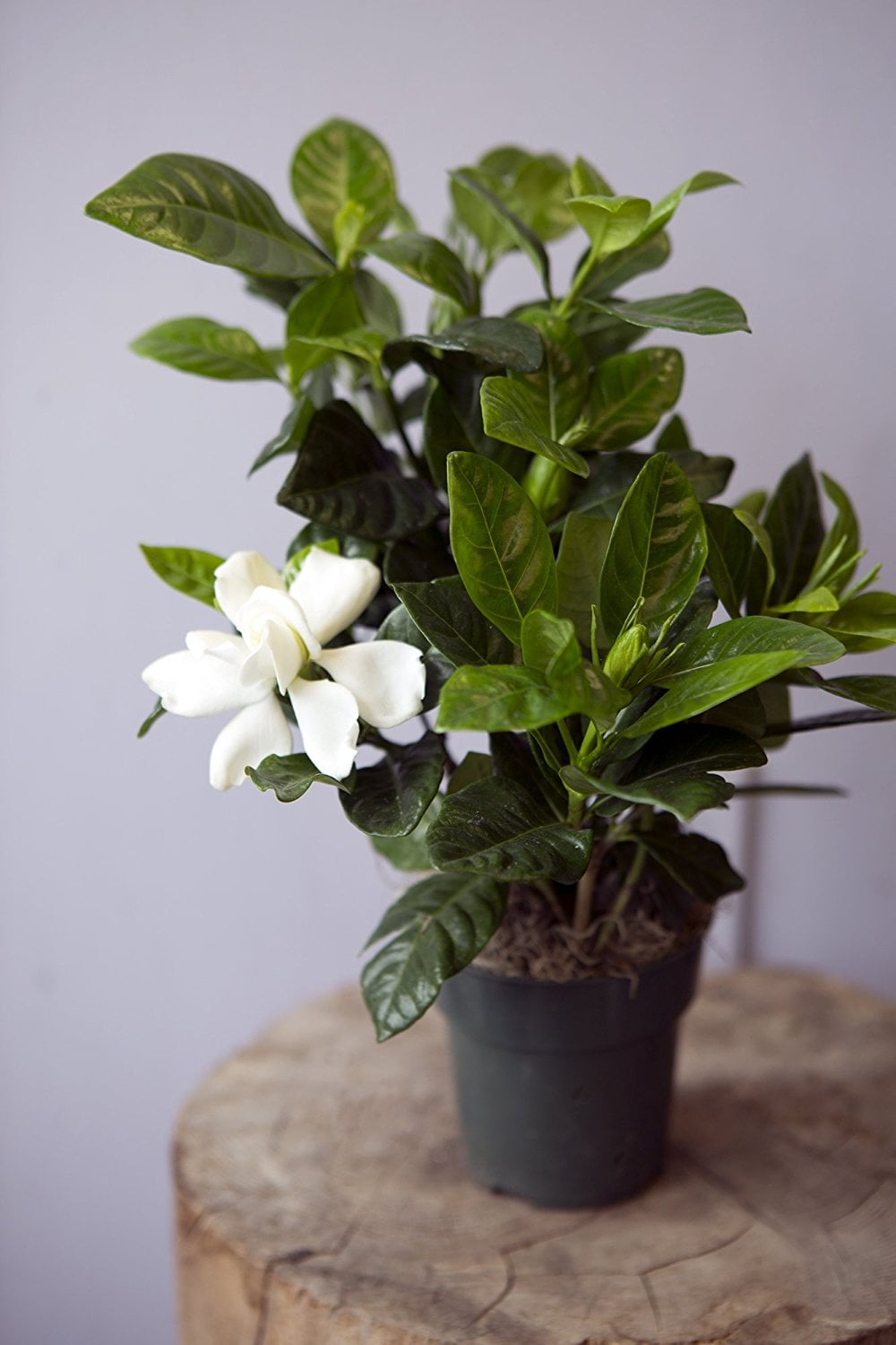 Kabloom Gardenia Bonsai Tree Amazon Now Delivers Live Plants Right To Your Door Shop These 10 Picks Under 27 Popsugar Family Photo 8