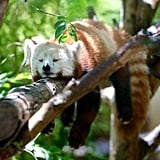 This exotic red panda, who has found a very inconvenient place to lie.