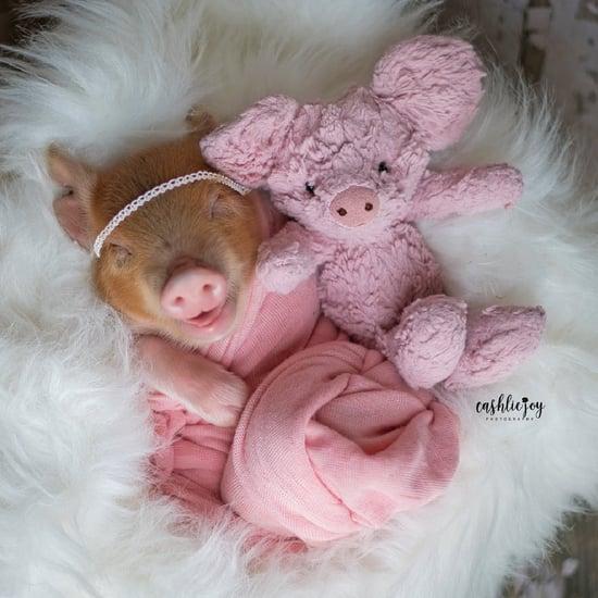 Adorable Newborn Piglet Photo Shoot Pictures