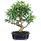 Brussel's Bonsai Live Golden Gate Ficus Indoor Bonsai Tree