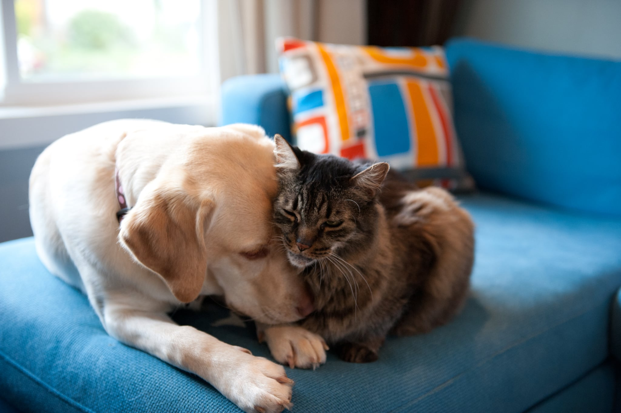 Yellow Labrador retriever and Maine coon cat cuddling together on a blue couch.