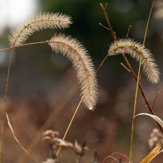 Are Foxtails Poisonous to Dogs?