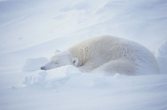 Creature Features: Polar Bears