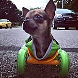Deadrick bought TurboRoo's wheels at a sporting goods store, which he attached to the 3D-printed cart base.  Source: Instagram user tuber.roo