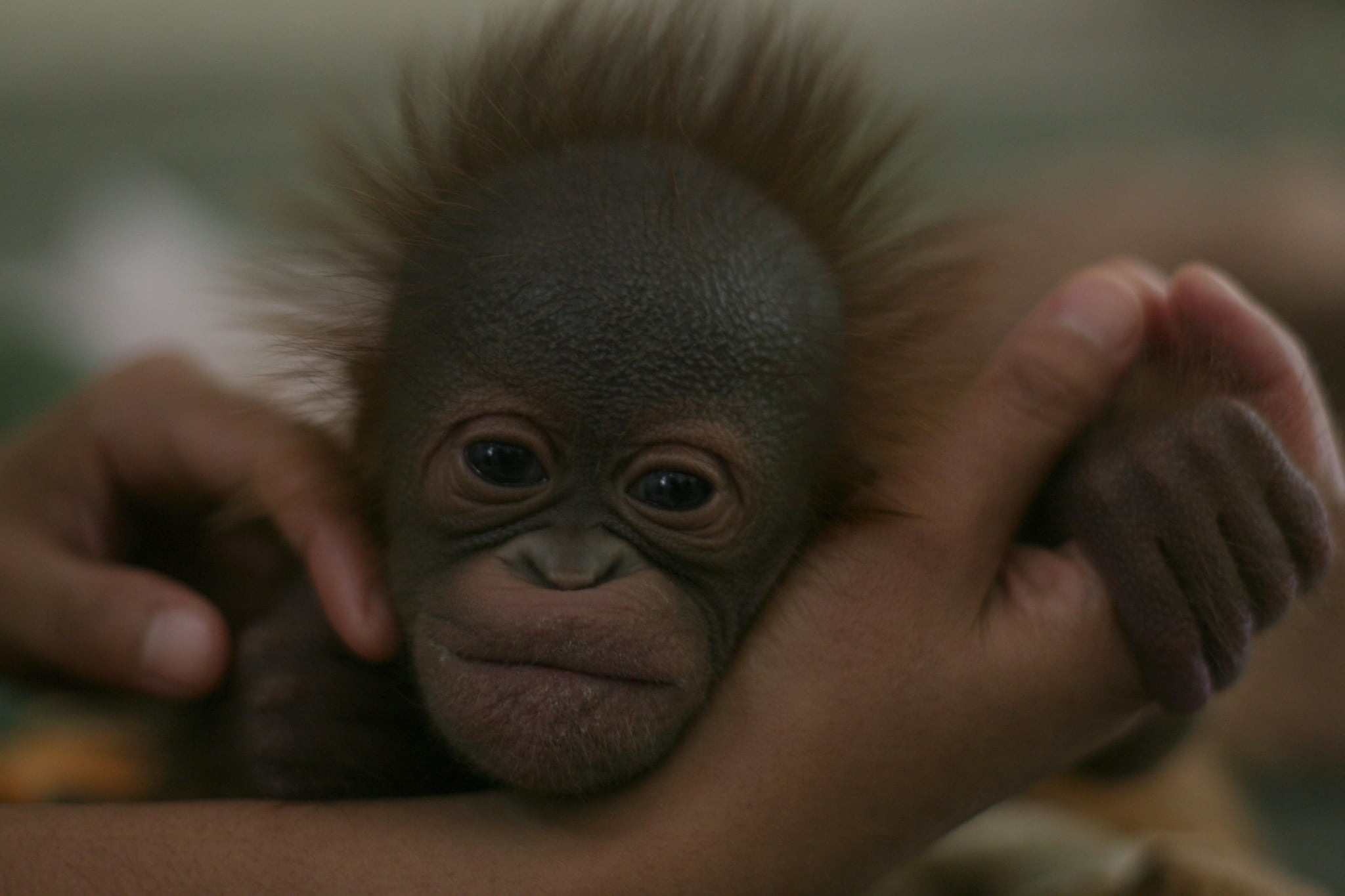 Baby orang-utan in Indonesia at the Taman Safari, which plays an important role in breeding rare and endangered animals.