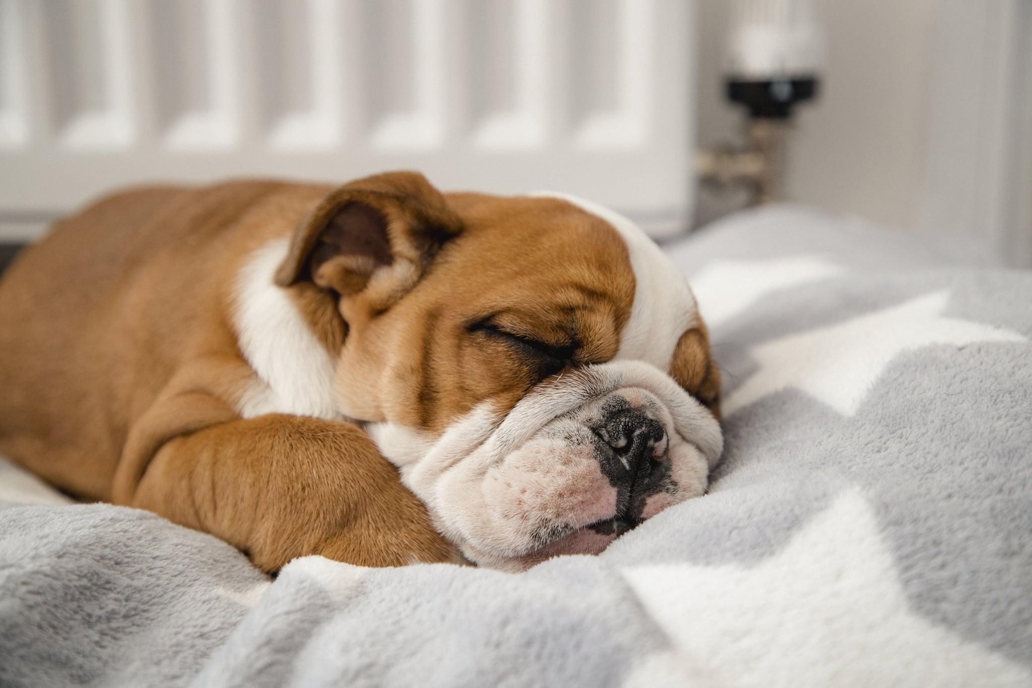 A cute British Bulldog sleeping in a dog bed.