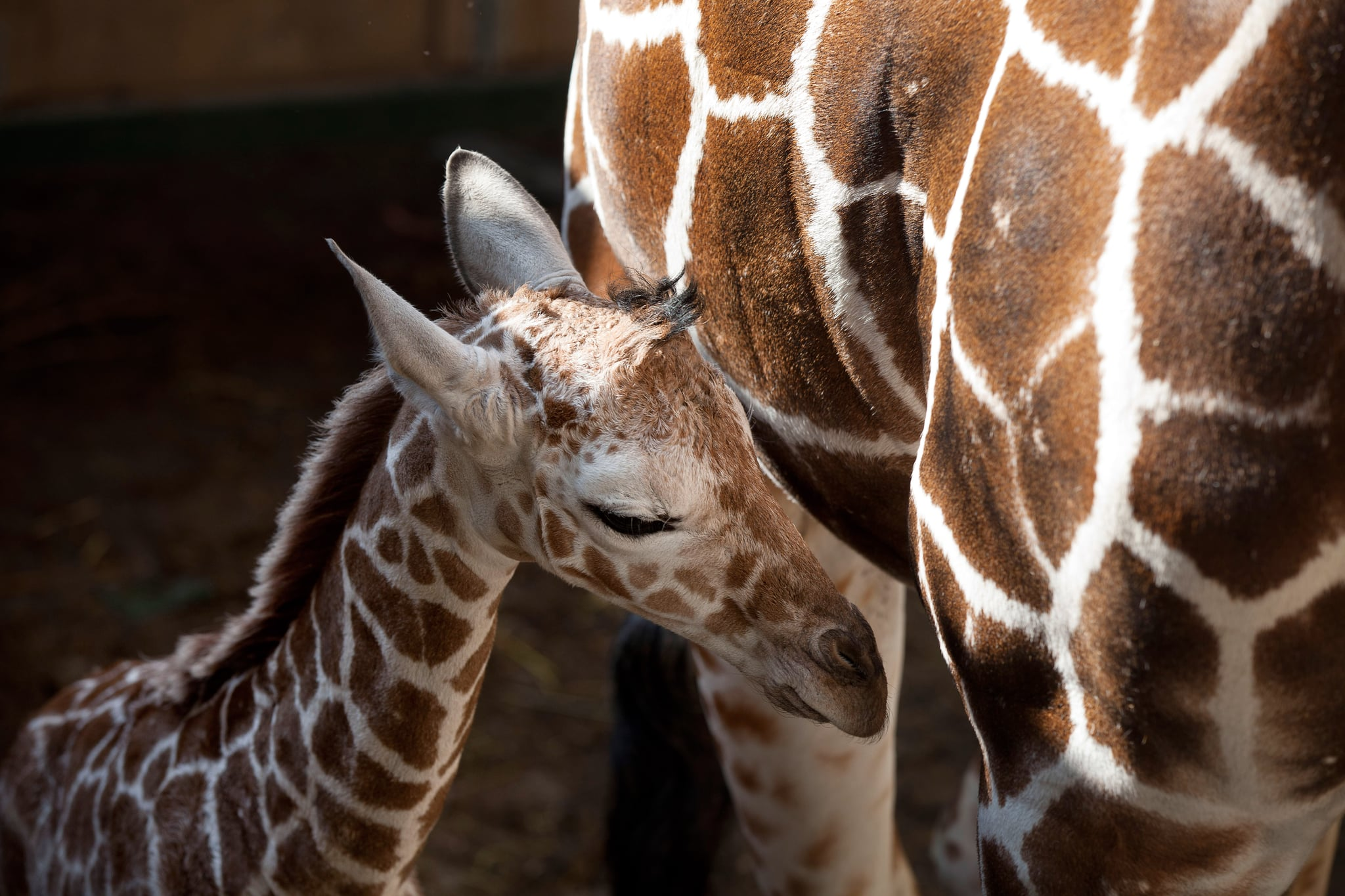 The scientific name for a giraffe is camelopardalis, which means a mix between a camel and a leopard. The ancient Romans and Greeks thought that was what a giraffe was.