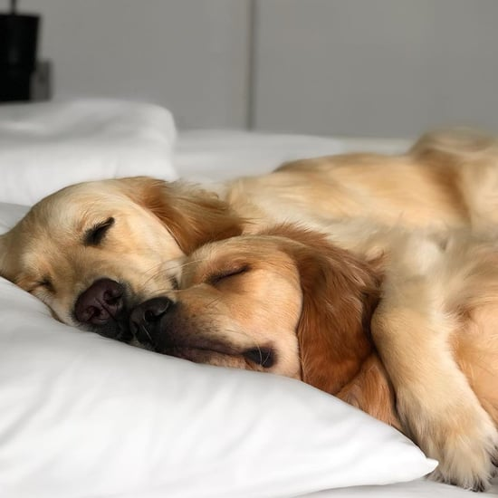 Kylo and Vader Golden Retrievers Who Cuddle