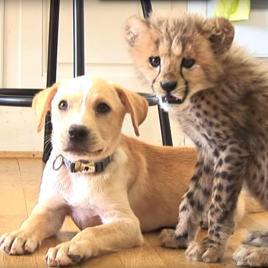 Dog and Cheetah Best Friends | Video