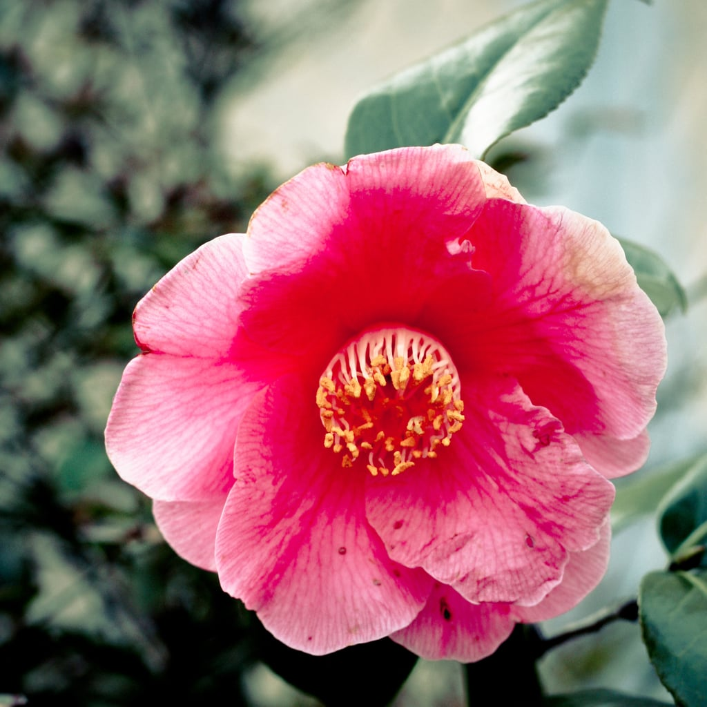 Camellia Oil For Face, Hair, and Body