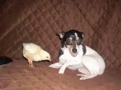 Puppy Loves Chicks