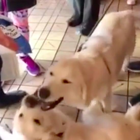 2 Golden Retriever Siblings Reunite in Seattle | Video