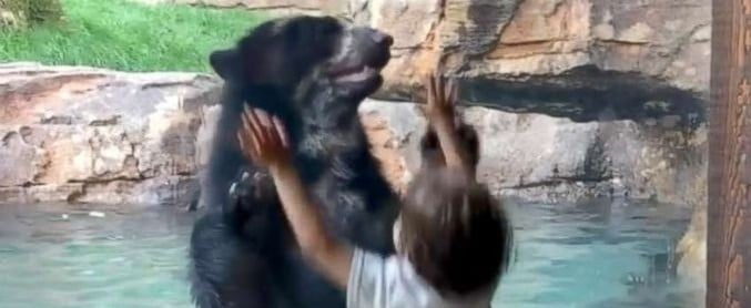 Bear Jumps With Boy at Nashville Zoo