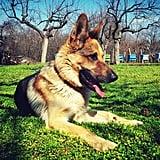 Taurus (April 20-May 20) — German Shepherd