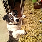 Director of Business Development Chris Signore's adorable Mini Australian Shepherd, George, was curious about what was on the counter.