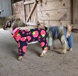 اثنين من صغار الماعز يرتديان البجامات