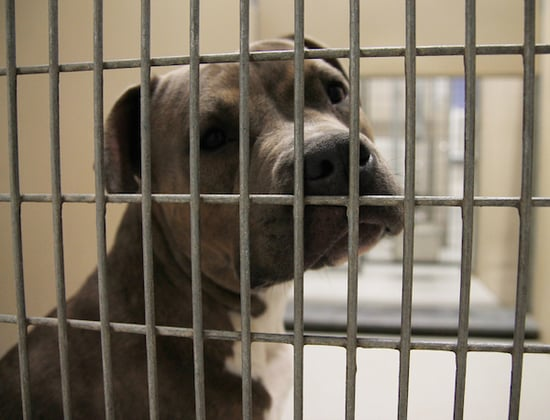 Instead of Banning Pit Bulls, Montreal Should Follow Calgary's Lead