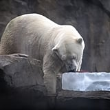 A polar bear in Brookfield Zoo in Illinois enjoyed some much-needed ice during a mid-July heat wave that brought temperatures over 90 degrees in 47 US states.