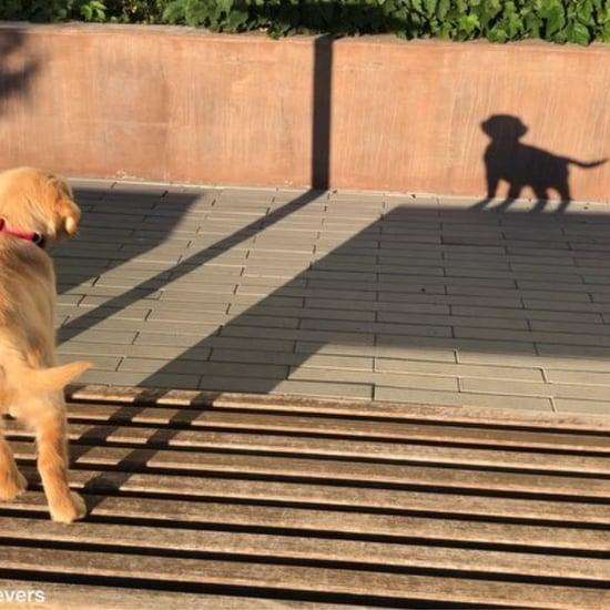 Video of Golden Retriever Barking at Her Shadow