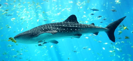 What Do You Know About Whale Sharks?