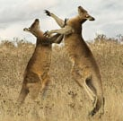 Boxing Kangaroos + Golf = Why The Hell Not?