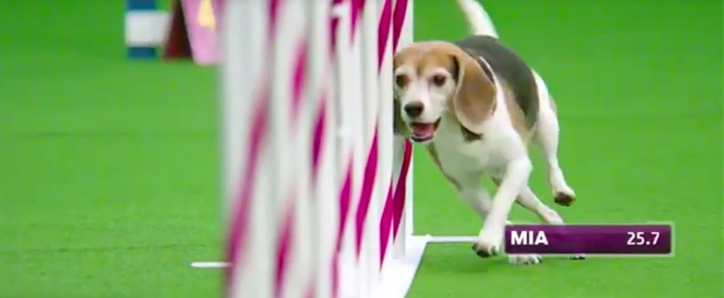 Mia the Beagle May Have Bombed This Agility Course, but She's Still Our Fave