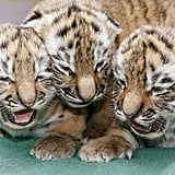 These three tigers can tell you that yawning's contagious.