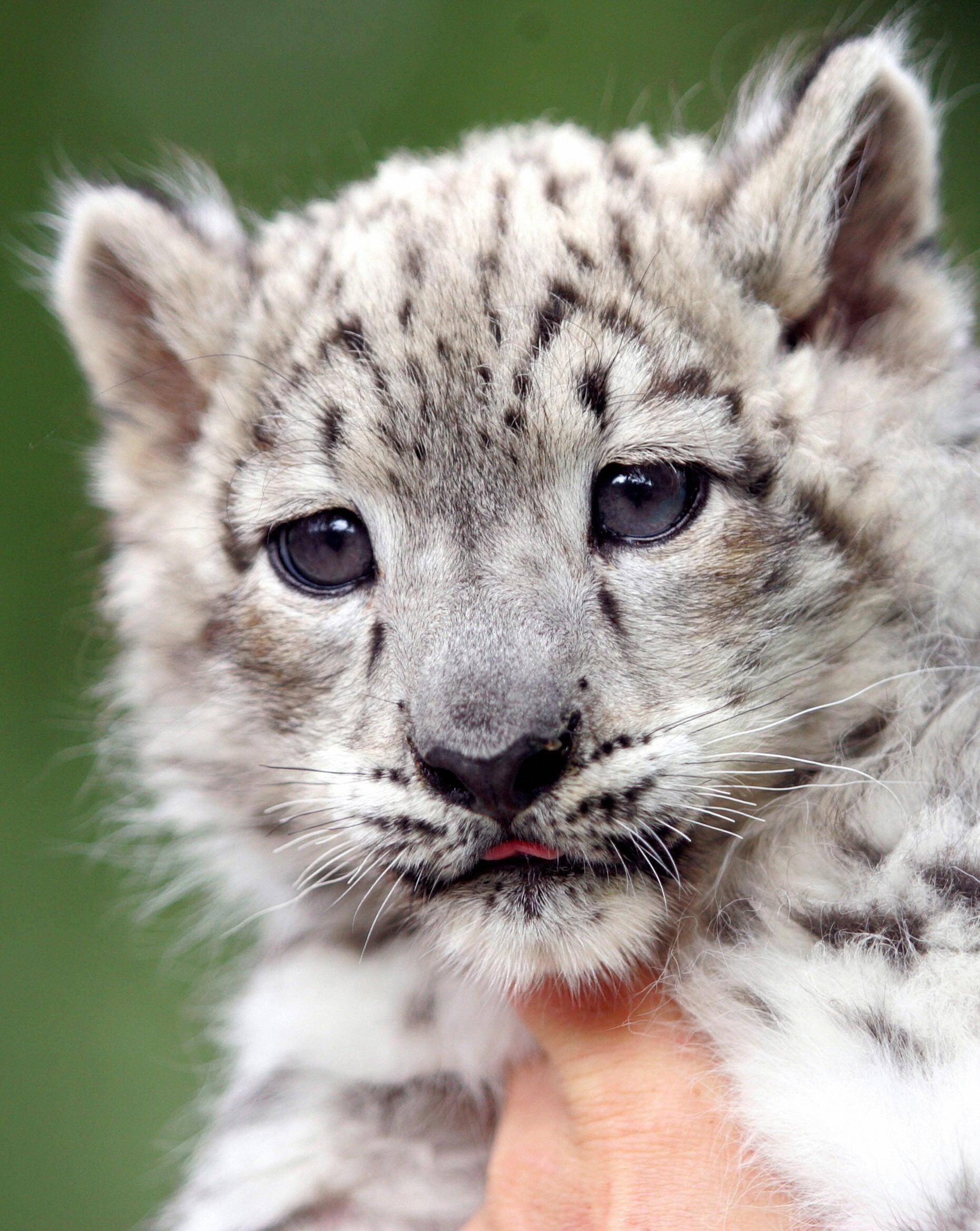 The Scoop Meet Emba A Baby Snow Leopard Popsugar Pets
