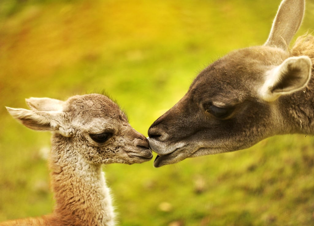 What Is a Guanaco?