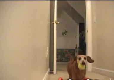 Latchkey Pup Plays Fetch Alone
